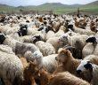 -07112015-1446867095-9761466-sheep_bloomberg